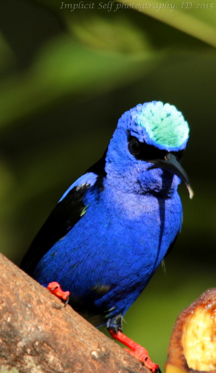 Red legged honeycreeper-throat and tongue-2-wm
