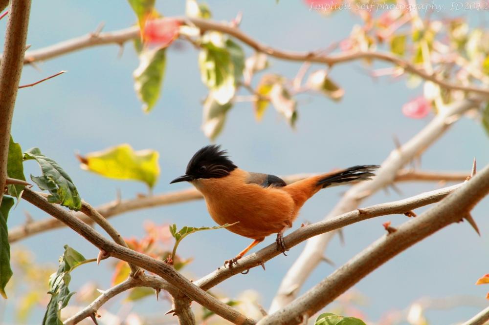 Rufus sibia-himalayan bird-wm