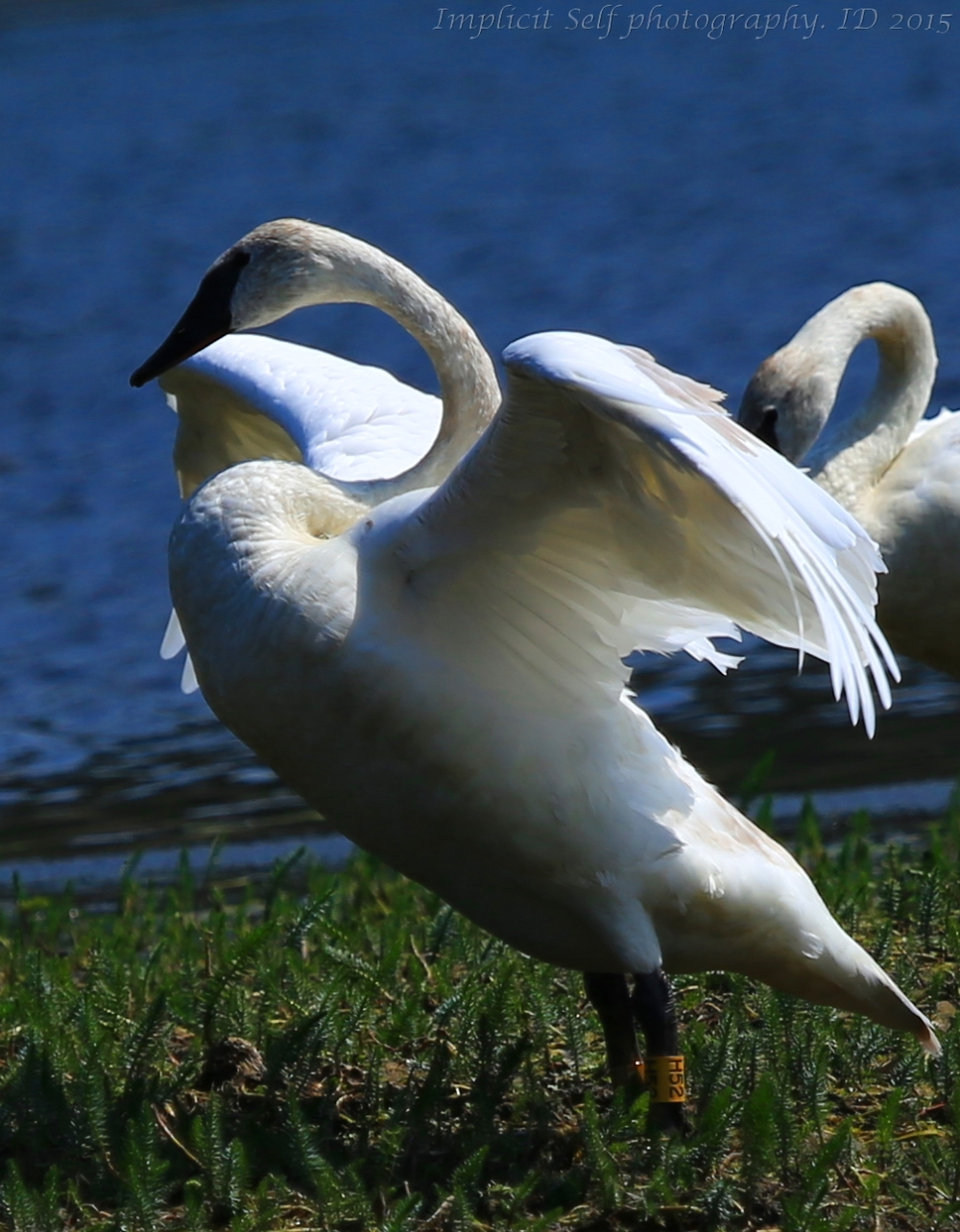 Trumpeter swan wings-wm