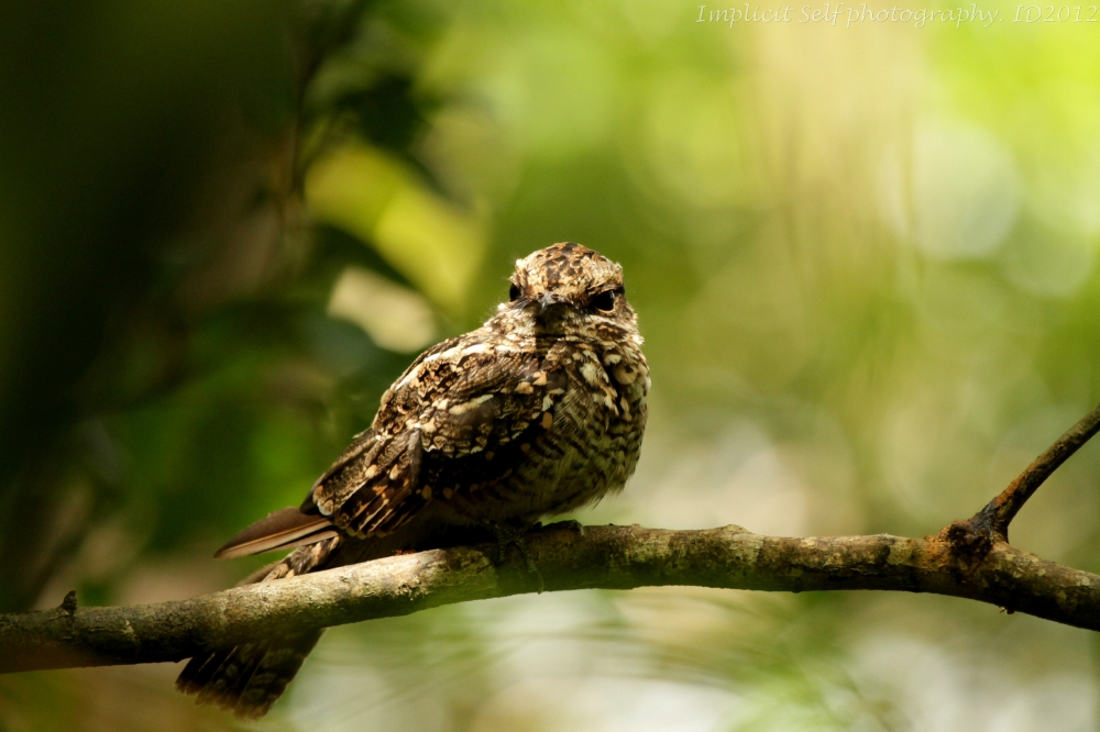 White tail nightjar- tobago-wm