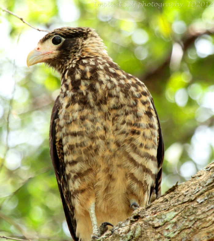 young caracara-tobago-wm