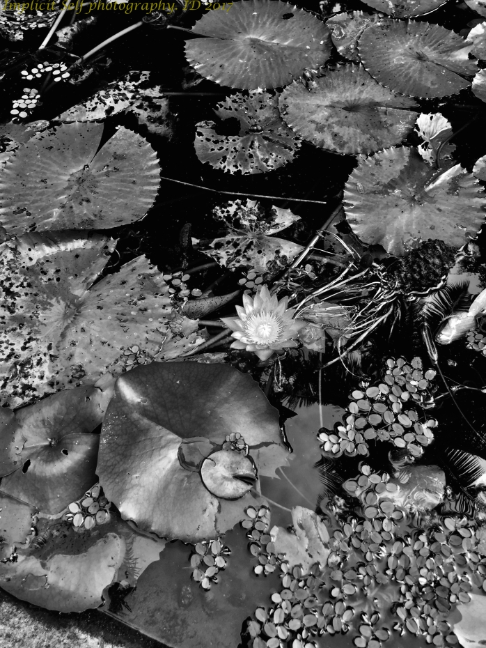 black and white lily pond-wm