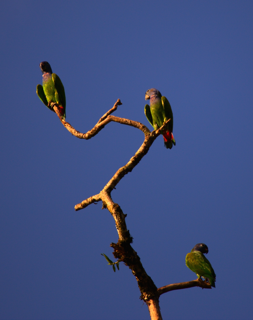 blue-headed parrots-good pose-6