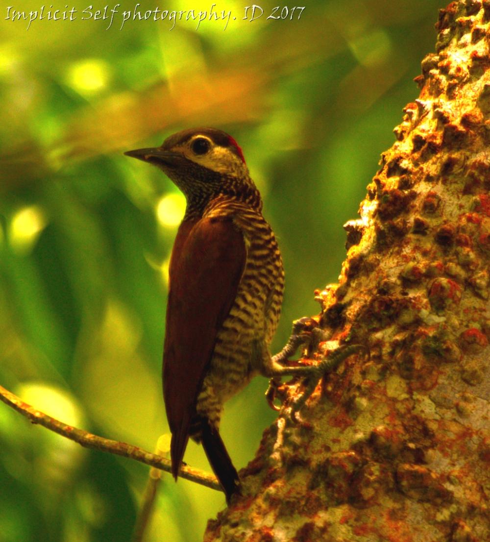 golden-olive woodpecker-2-wm