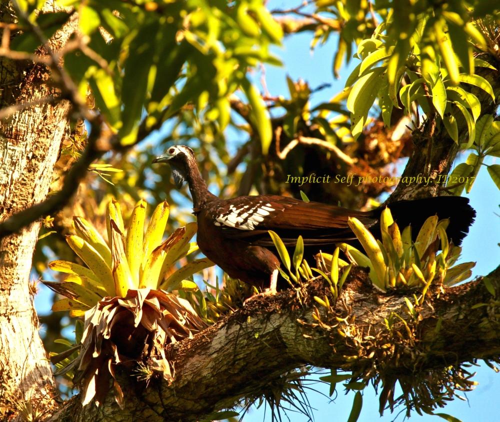 Trinidadian piping guan- close-wm